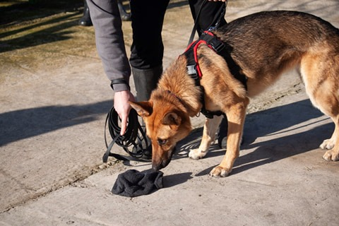 German Shepherd taking scent from a scent article when mantrailing